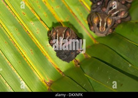 Tent-Making Bat, Uroderma bilobatum, with baby nestled up against her tummy , Caribbean, Costa Rica - Stock Photo