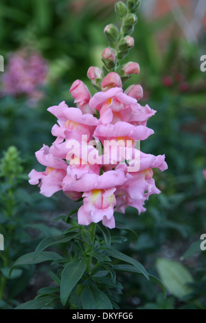 Pink Snapdragons - Stock Photo