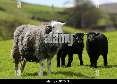Herwick Ewe with her twin lambs born in the North Yorkshire - Stock Photo