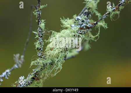 Usnea lichen and foliose lichen on the branch of a tree in the Scottish Highlands - Stock Photo
