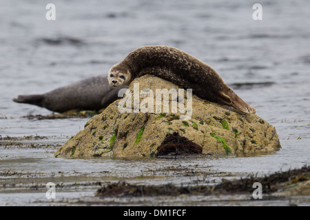 Common Seal also known as Harbor (or Harbour) Seal Phoca vitulina, Shetland, Scotland - Stock Photo