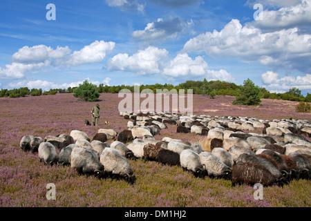 Shepherd with sheepdogs herding flock of Heidschnucke, moorland sheep at Lüneburg Heath / Lunenburg Heathland in - Stock Photo