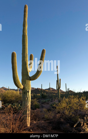 Giant Saguaro Cactus (Carnegiea gigantea), Saguaro West National Park, Tucson, Arizona - Stock Photo