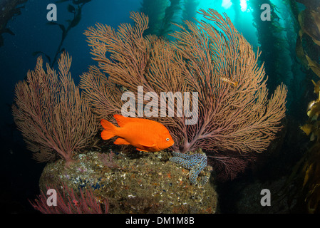 a garibaldi Hypsypops rubicundus swims in front of a large gorgonian in the kelp forest of Southern California - Stock Photo