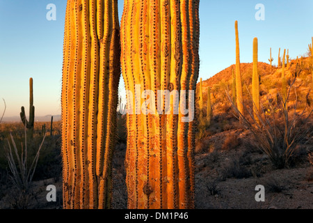 Giant Saguaro Cactus (Carnegiea gigantea), Saguaro National Park, West Unit, Tucson, Arizona - Stock Photo