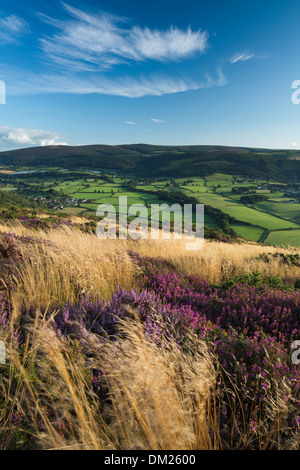 coastal heath (common heather bell heather and western gorse) on Bossington Hill in late summer Dunkery Beacon beyond - Stock Photo