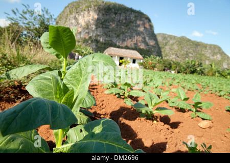 Cuba, Tobacco growing in a plantation field on a farm in Vinales valley, UNESCO world heritage site, Cuba, Caribbean - Stock Photo