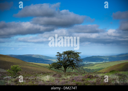 a tree on Porlock Common, Exmoor, Somerset, England - Stock Photo