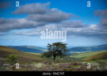 a tree on Porlock Common, Exmoor, Somerset, England