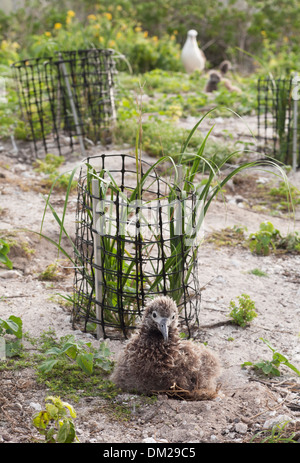Laysan Albatross chick on nest, and Bunch Grass (Eragrostis variabilis) plantings in a USFWS habitat restoration - Stock Photo