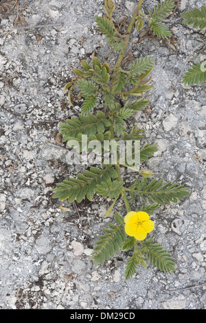 Puncture Vine (Tribulus cistoides) growing on the remnants of a historic World War II runway on Eastern Island - Stock Photo