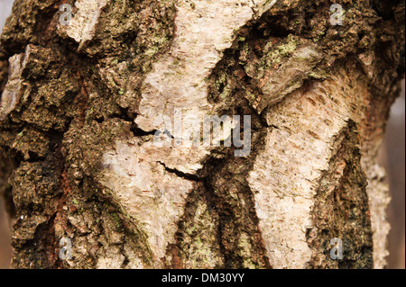 Mature and old Betula pendula Silver Birch trunks showing details of cambium and lenticels offering protection form - Stock Photo