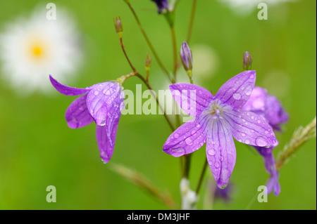 Spreading Bellflower, Bellflower, Campanula, patula, Campanulaceae, blossoms, flower, plant, botany, raindrops, - Stock Photo