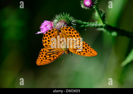 Silver-washed Fritillary, Argynnis paphia, Nymphalidae, male, butterfly, inscet, animal, Baden-Würtemberg, Germany - Stock Photo