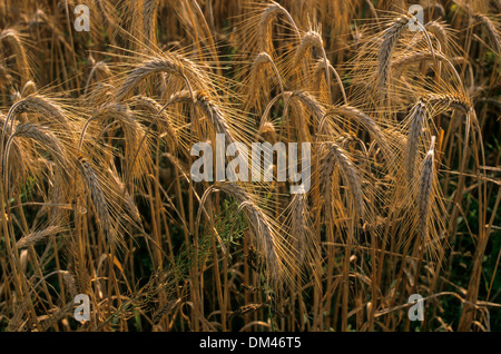 Rye field in summer, agriculture - Stock Photo