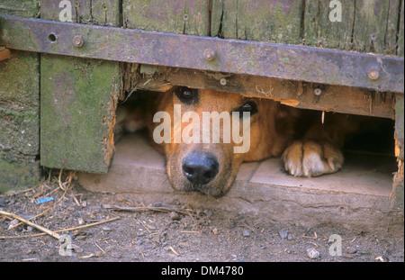 German Shepherd Dog looking through a fence, Deutscher Schaeferhund schaut durch einen Zaun - Stock Photo