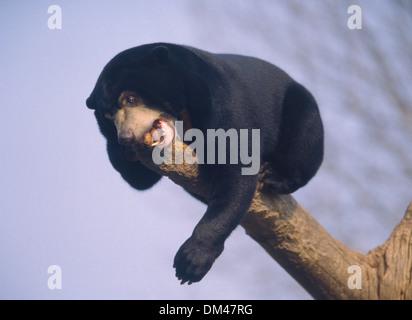 Tasmanian devil (Sarcophilus harrisii), Beutelteufel (Sarcophilus harrisii) Tasmanischer Teufel - Stock Photo