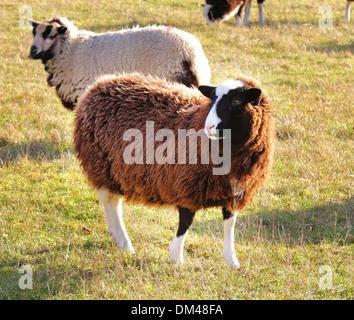 Balwen Sheep in an English Meadow - Stock Photo