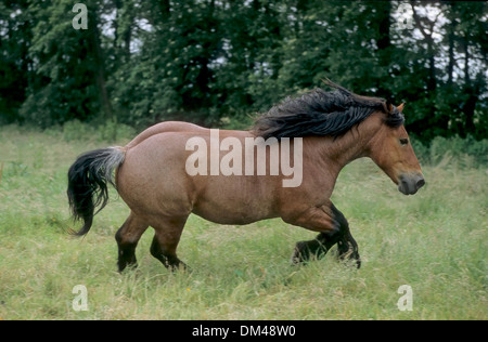 Britisches Kaltblut, Hengst, Shirehorse, Stute mit Fohlen, Shire horse - Stock Photo