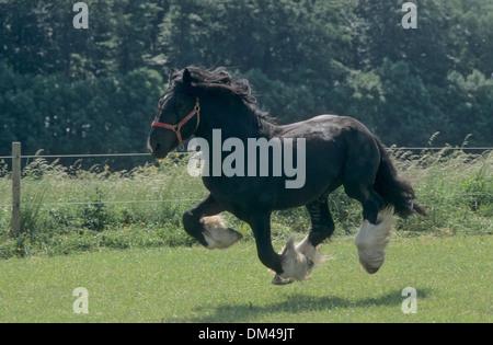 British cold blood, Stallion, Shire Horse, Britisches Kaltblut, Hengst, Shirehorse - Stock Photo