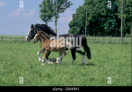 British cold blood, Stallion, Shire Horse, Mare with Foal, Britisches Kaltblut, Hengst, Shirehorse, Stute mit Fohlen, - Stock Photo