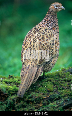 Pheasant (Phasianus colchicus), Fasan (Phasianus colchicus), Common Pheasant (Phasianus colchicus) - Stock Photo