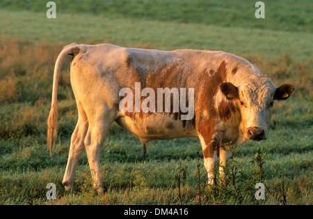 Fell beef, Swedish mountain cow, Fjällko, Fjäll-Rind, Schwedische Bergkuh, Fjällko - Stock Photo