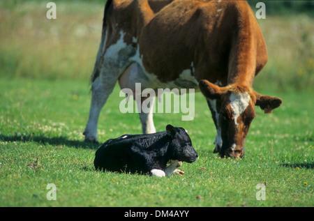 Red-colored lowland beef, Rotbunte Niederungsrinder, Rotbuntes Niederungsrind - Stock Photo