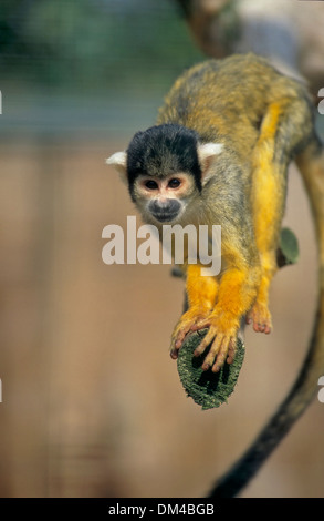 squirrel monkeys Saimiri, Zoo: Totenkopfaffen oder Totenkopfäffchen (Saimiri) - Stock Photo