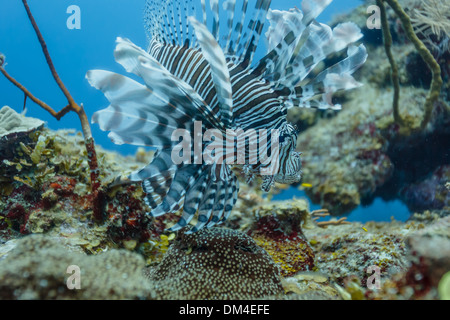 Lionfish displays full array of tentacles on coral reef in Belize - Stock Photo