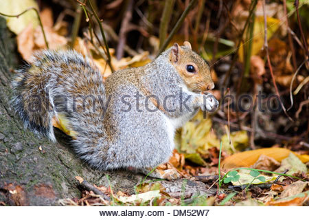 A Grey Squirrel - Stock Photo