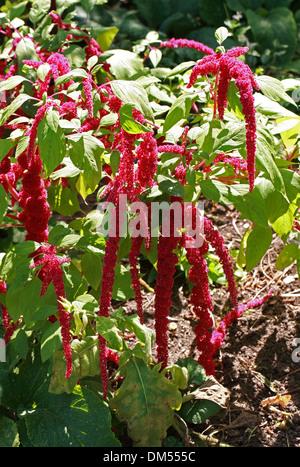 Love-lies-bleeding, Love-lies-a'bleeding, Pendant Amaranth, Tassel Flower, Velvet Flower, Foxtail Amaranth, Amaranthus - Stock Photo