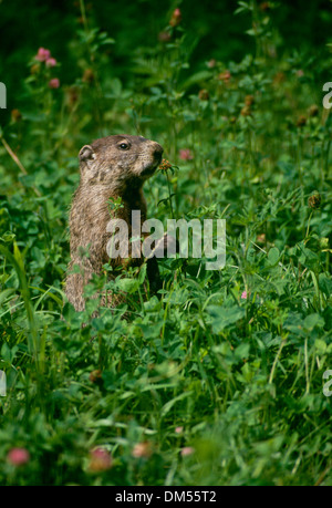 Cute Groundhog Family Marmota Monax Also Known As A