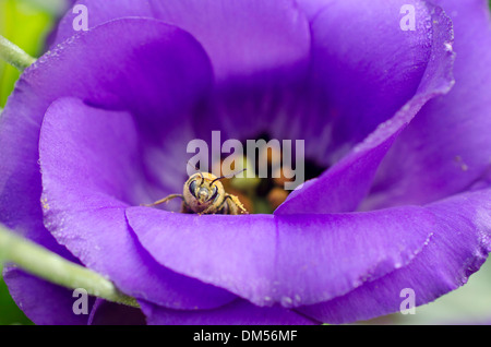 Bee on purple Lisianthus flower in garden, Yarmouth ME - Stock Photo