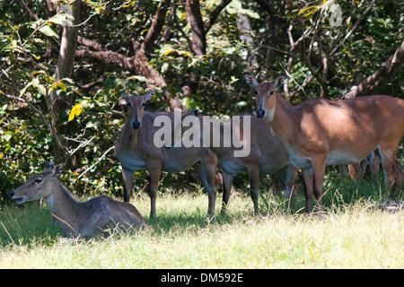 a herd of cautive blue bulls (Nilgai). - Stock Photo