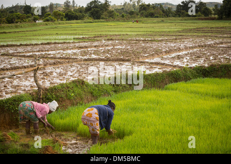 Farmers transplant rice stalks in rural Vatomandry District, Madagascar. - Stock Photo
