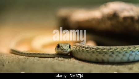 Namib Sand Snake (Psammophis namibensis), Living Desert Snake Park, Walvis Bay, Namibia - Stock Photo