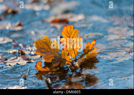 Leaves of the Pedunculate Oak or German Oak (Quercus robur) frozen in the ice, Ettersberg, Weimar, Thuringia, Germany - Stock Photo