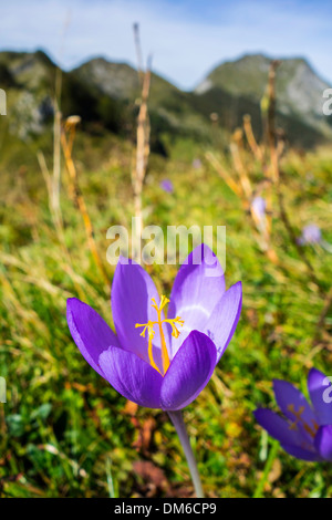 Purple autumn crocus flowering in Pyrenees mountains - Stock Photo