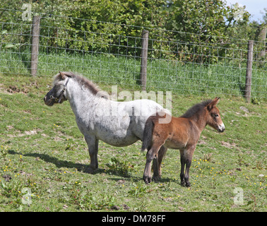 Shetland pony mare with mini mule foal - Stock Photo