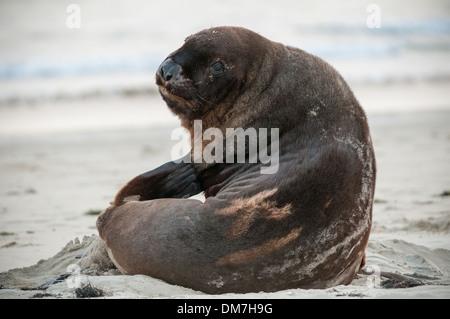 New Zealand, or Hooker's sea lion (Phocarctos hookeri) (Whakahao), Surat Bay, the Catlins, South Otago, South Island, - Stock Photo