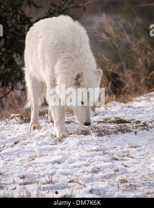 Lone Arctic Wolf sniffing the ground. Canis lupus arctos - Stock Photo