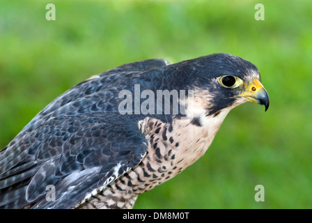 Lanner Falcon (Falco biarmicus) - Stock Photo