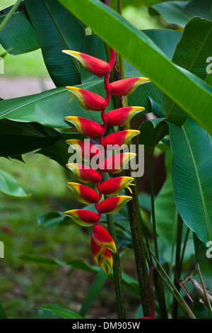 The beautiful (Heliconia rostrata) know as the LOBSTER CLAW or FALSE BIRD OF PARADISE - THAILAND - Stock Photo