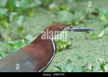 Rufescent Tiger-Heron (Tigrisoma lineatum), The Pantanal, Mato Grosso, Brazil - Stock Photo