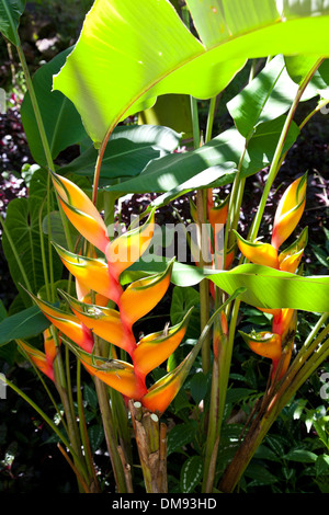 Heliconia at Hawaii Tropical Botanical Garden, on scenic loop of Highway 19, north of Hilo, and on Onomea Bay. - Stock Photo