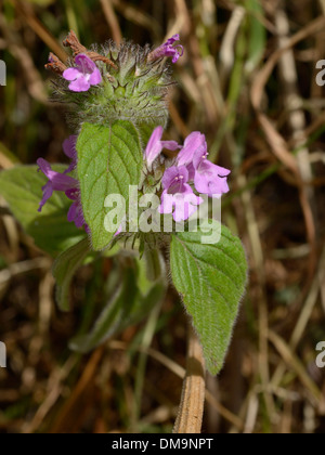 Wild Basil, Clinopodium vulgare - Stock Photo