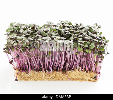 Patch of fresh growht purple garden cress isolated on a white background - Stock Photo