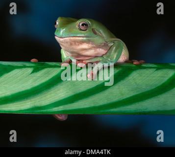 Whites Tree Frog on Leaf - Stock Photo
