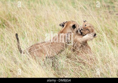 Two African Lion Cubs playing together, Panthera leo, Masai Mara National Reserve, Kenya, Africa - Stock Photo